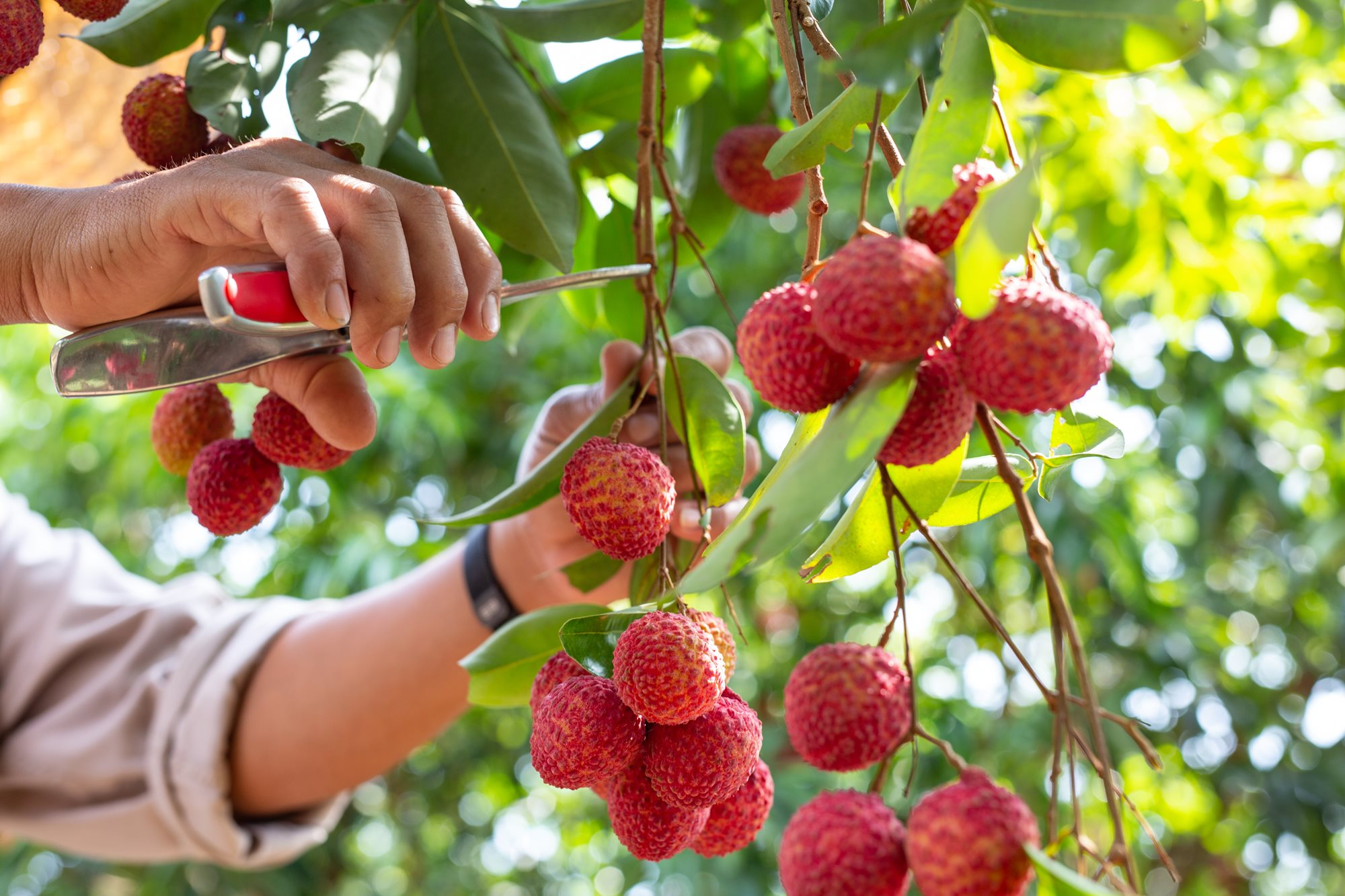 agriculture-lychee-fruit-thailand.jpeg